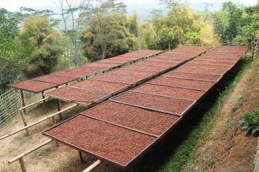 Much of MesaStila is coffee plantation, and the coffee beans are sorted and dried here