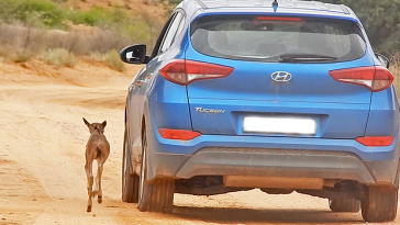 Watch: A Lost Wildebeest Calf Followed A Car Thinking It Was Its Mother