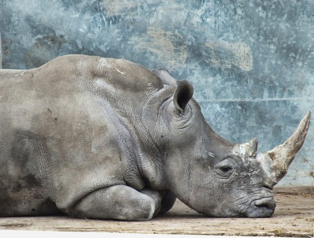 Extinct Northern White Rhino Clone