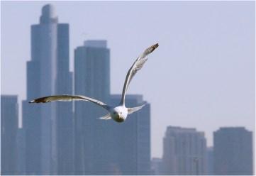 Gull Against Skyline