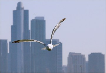 Gull Against Skyline