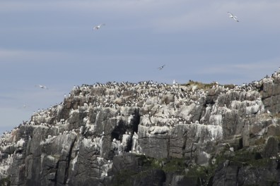 Poopy cliffs with guillemots