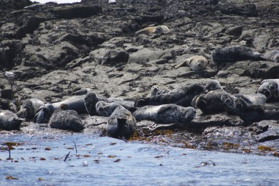 Sunbathing seals on the Farne Islands