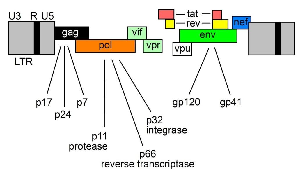 HIV Genome