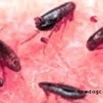 Cage fleas (Ctenocephalides felis)