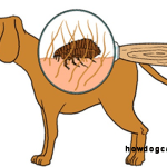 The effect of dog fleas on people