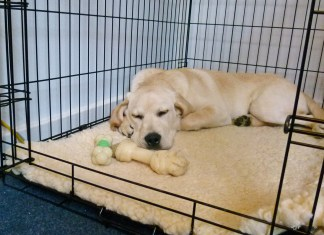 Crate Training a Labrador Puppy