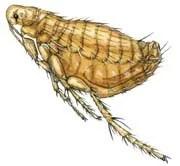 Mouse fleas (Xenopsylla cheopis)