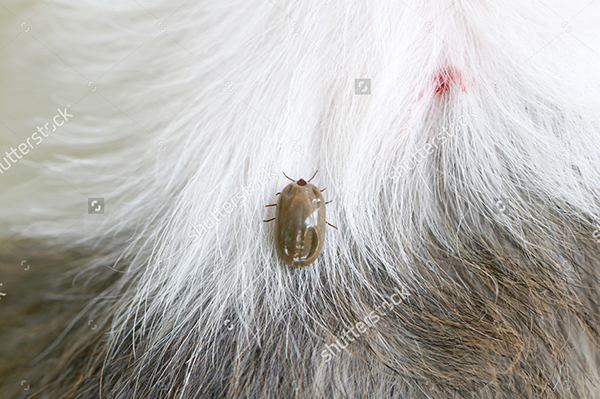 The ticks after sucking the dog's blood will leave red spots leading to dermatitis and infection.