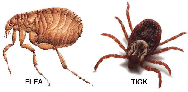Dog Fleas and Tick