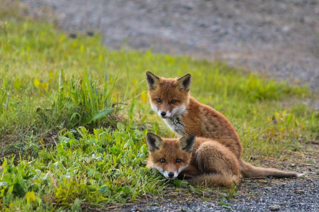 Fox cubs in Sweden
