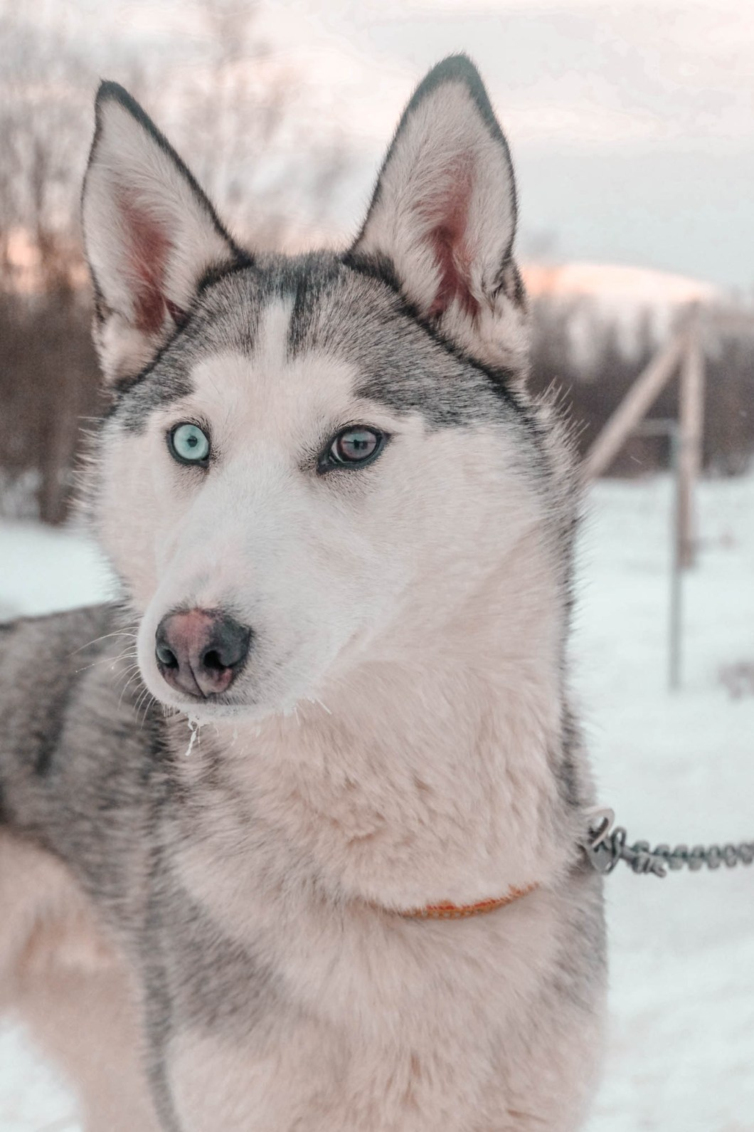 Husky in cold Norway