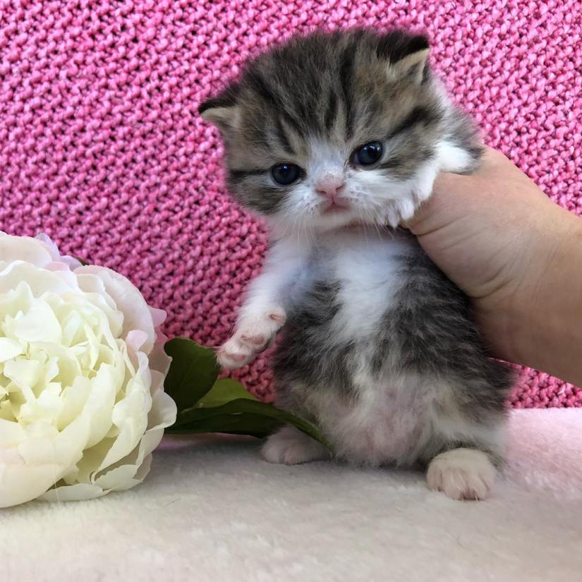 Exotic Shorthair Cats 02 - Cute Exotic Shorthair Cats