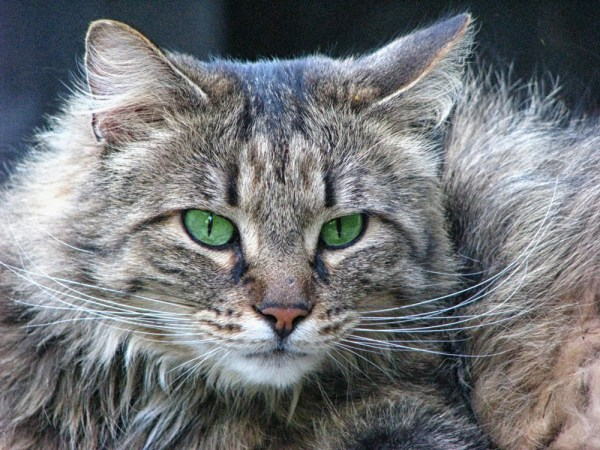 Norwegian Forest Cats 2019111901 - How to Care for Norwegian Forest Cats