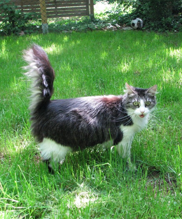 Norwegian Forest Cats 2019111902 - How to Care for Norwegian Forest Cats