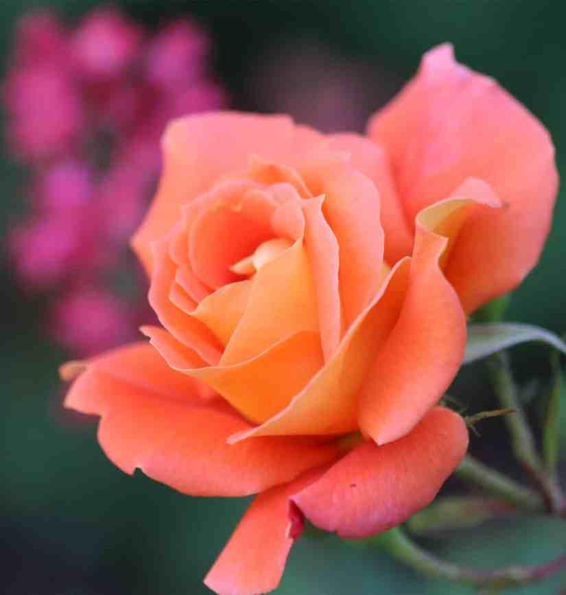 Orange Rose 2020070705 - 11 Most Beautiful Orange Roses and Meaning