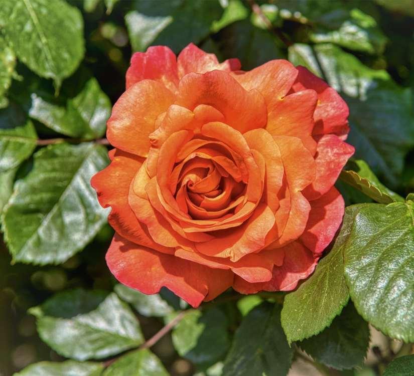 Orange Rose 2020070707 - 11 Most Beautiful Orange Roses and Meaning