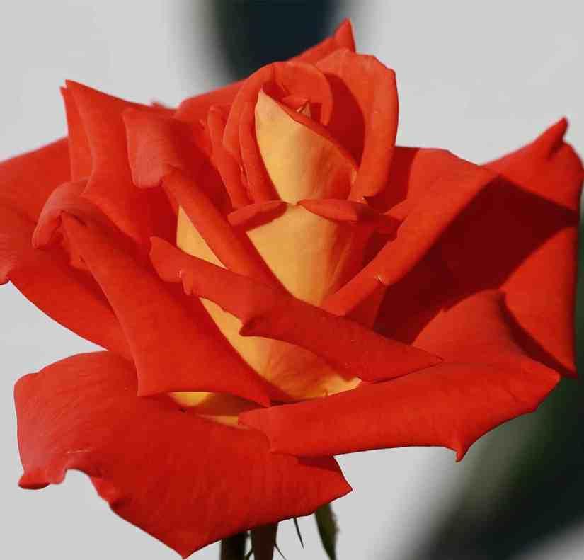 Orange Rose 2020070709 - 11 Most Beautiful Orange Roses and Meaning
