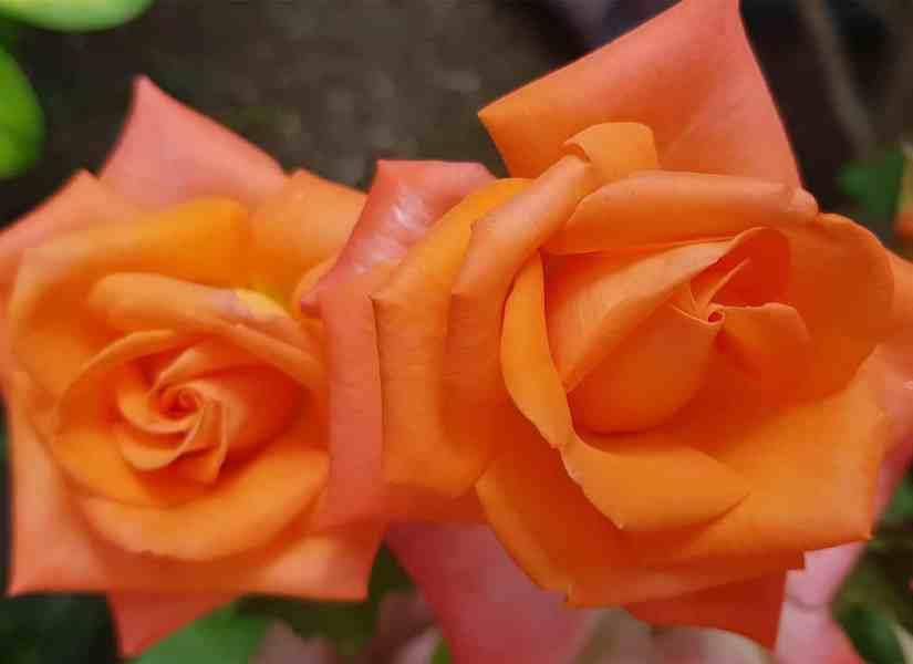 Orange Rose 2020070711 - 11 Most Beautiful Orange Roses and Meaning