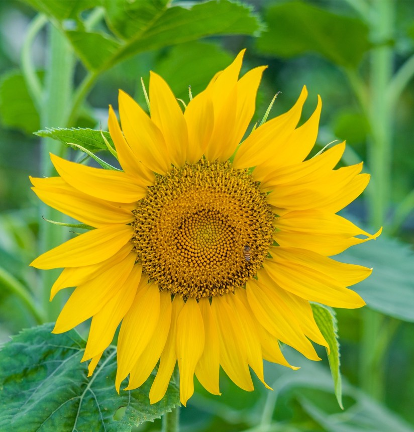 sunflower tattoo ideas 2020070414 - The Best Sunflower Tattoo Ideas and Meaning