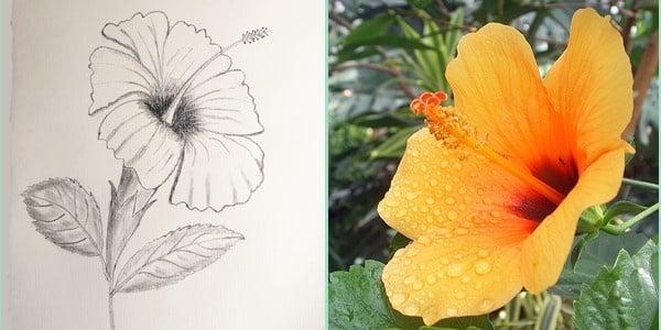 Draw-Hibiscus-20200801