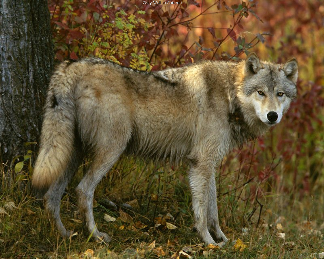 Wolf In Autumn 1
