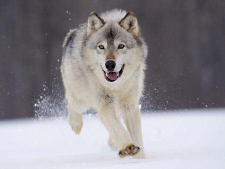 minn gray wolf