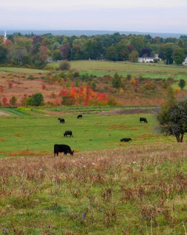 Springdell Farm's herd at Gibbet Hill. Photo by Tory Germann.