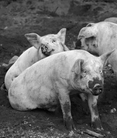 It's a pig's life at Springdell Farm. Photo by Tory Germann.