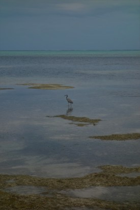 Heron in the lagoon