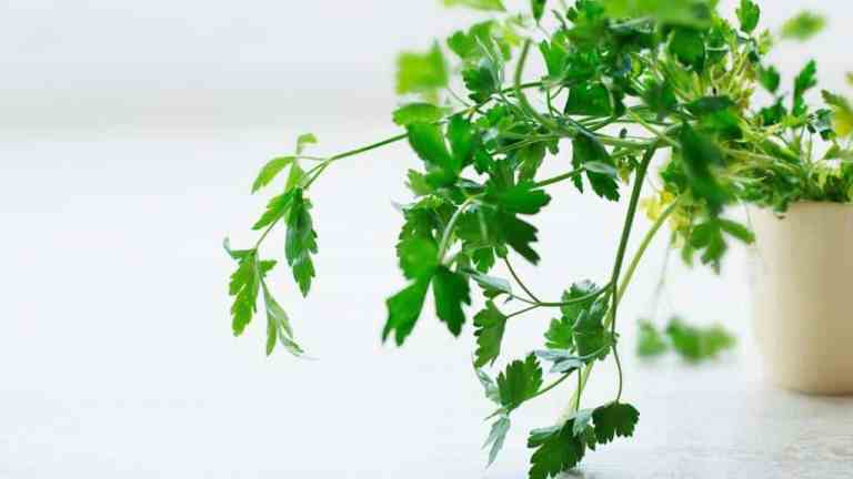 Parsley water, an elixir for beauty and health