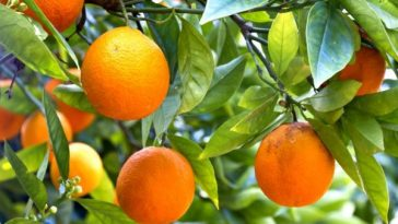 Orange industry in big trouble