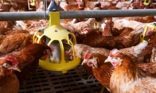 SA Poultry Association Concerned Over Flu