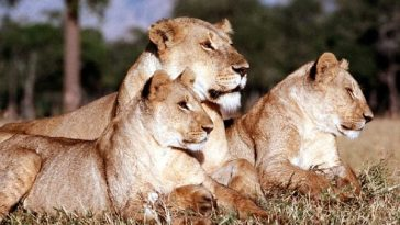 3 Lions Poisoned And Decapitated