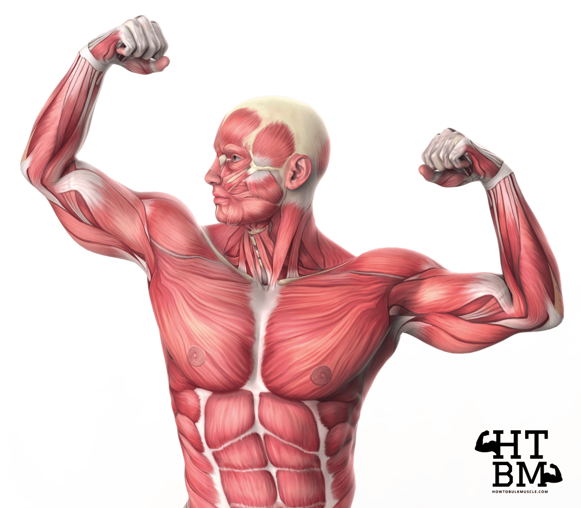 Types of Muscle Fibers and Their Influence on Muscle Growth and Athletic Performance