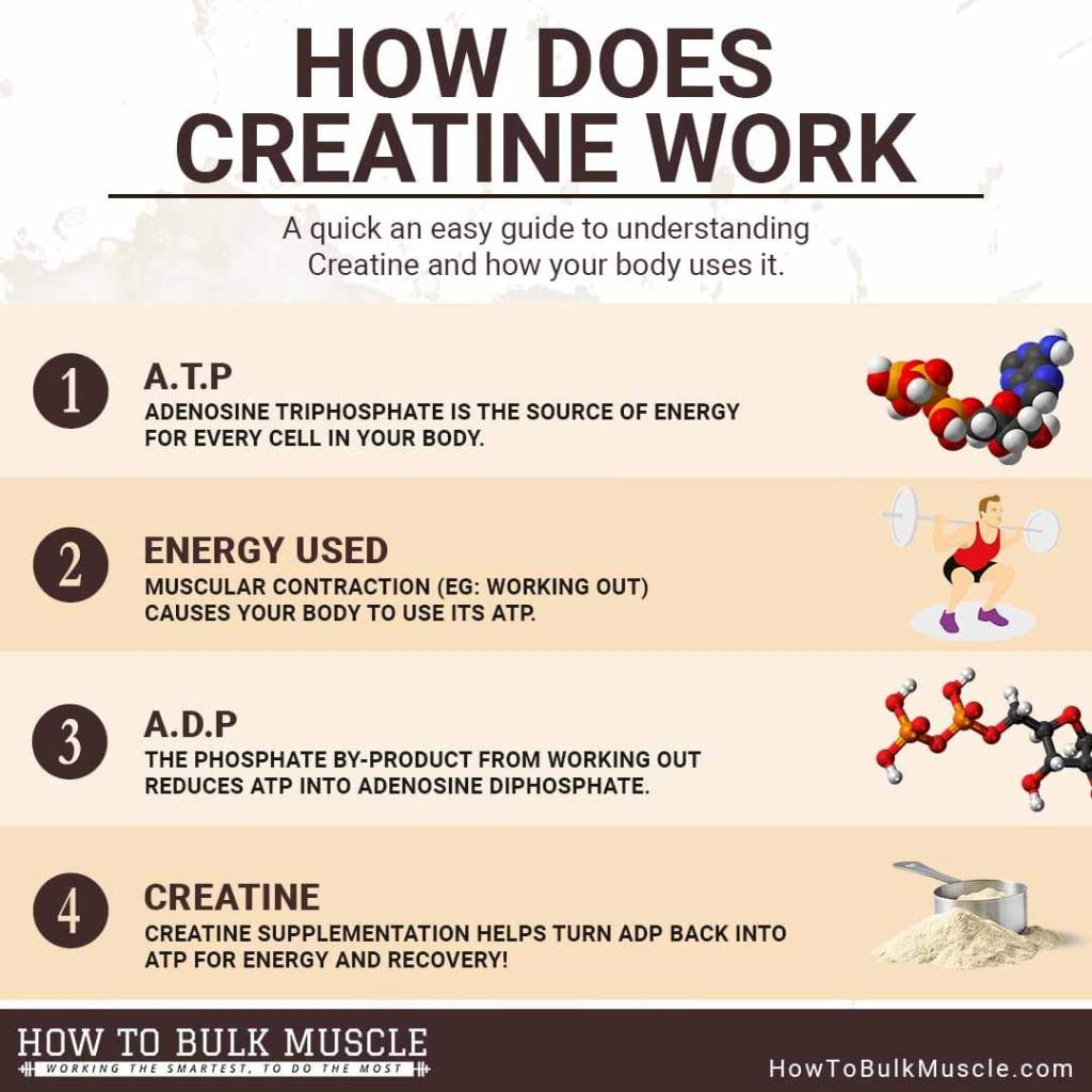 Creatine 101 Body Functions