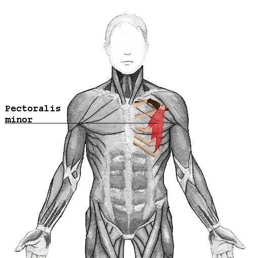 Pectoralis minor