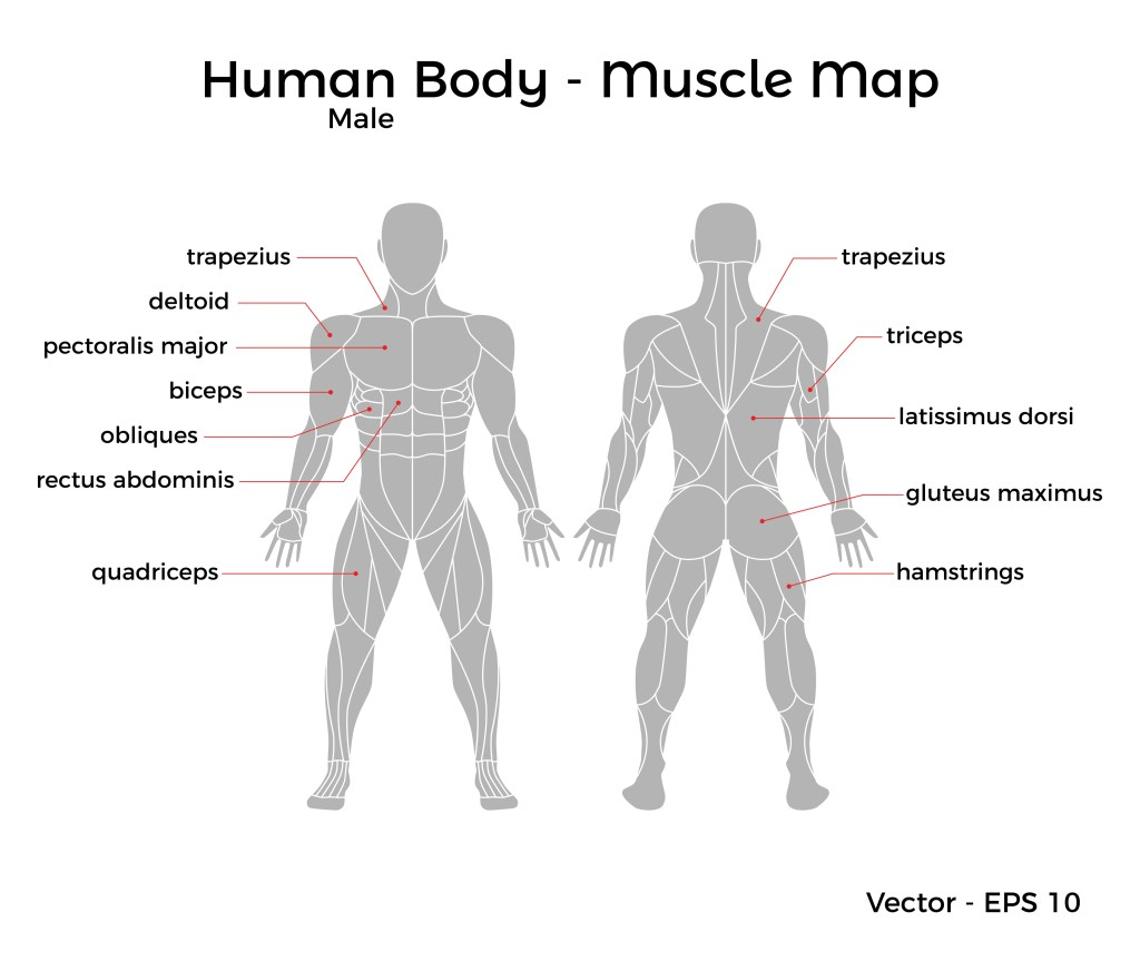 male muscle map