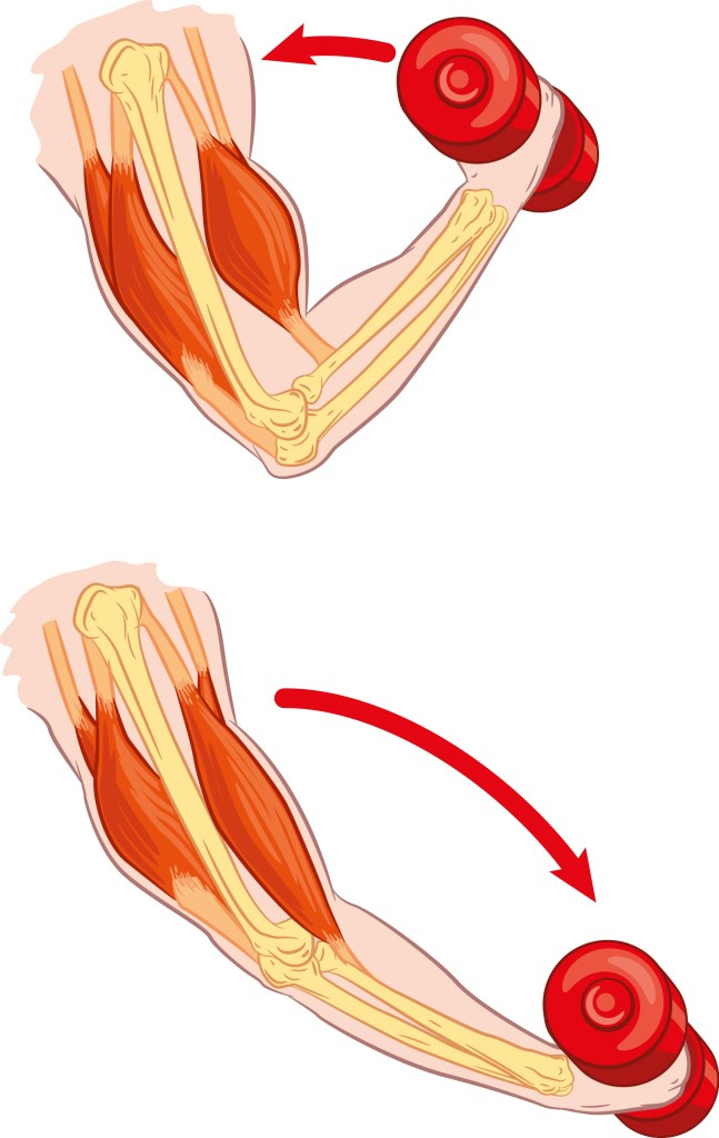 antagonistic muscle action on Resistance