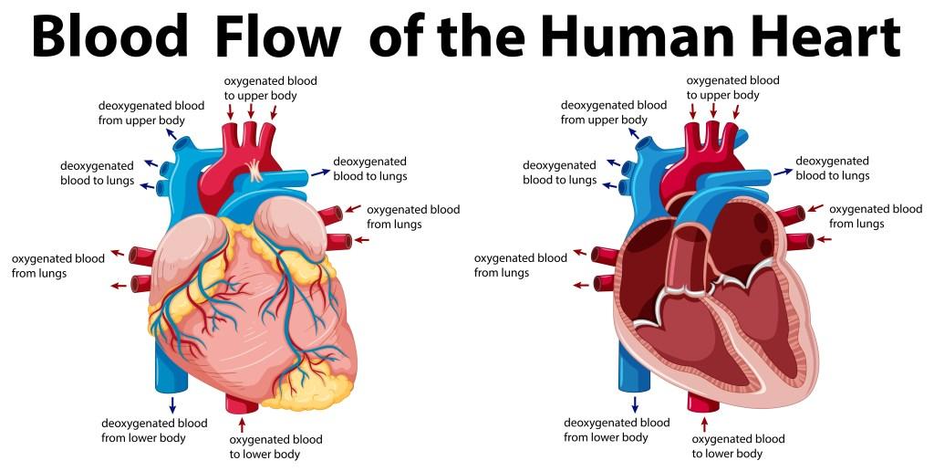 Heart Health Arteries and Veins