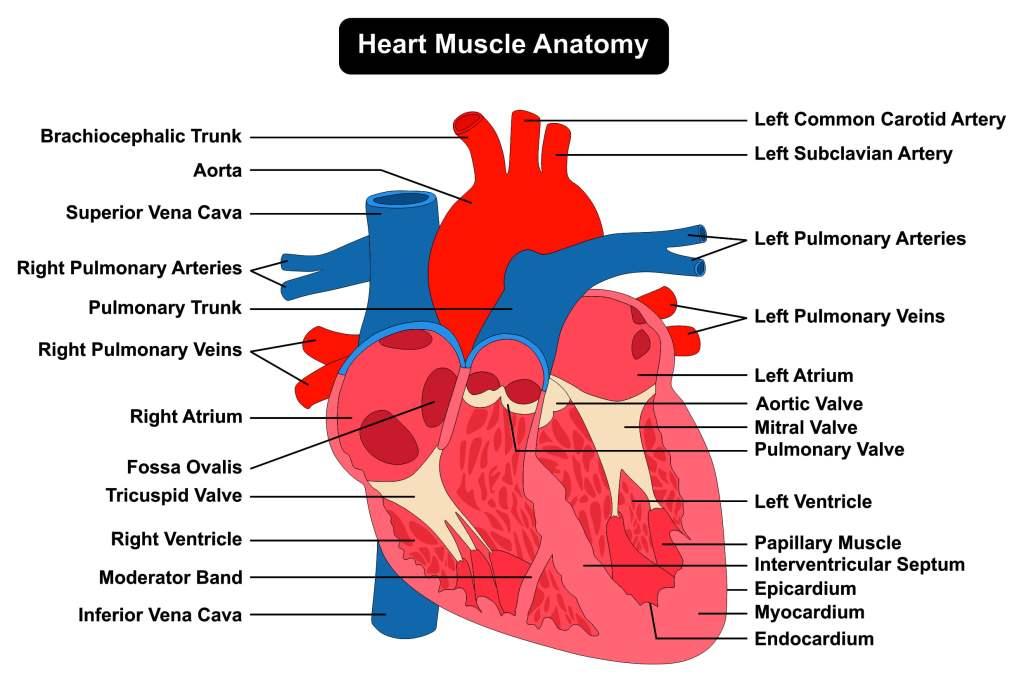 Human Hearth Anatomy