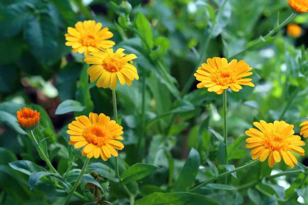 Calendula Benefits for Irregularity of Periods