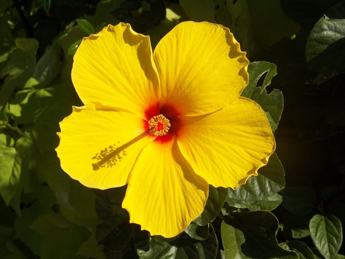 hibiscus flowers for hair growth