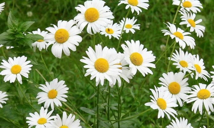 chamomile flowers for contact dermatitis