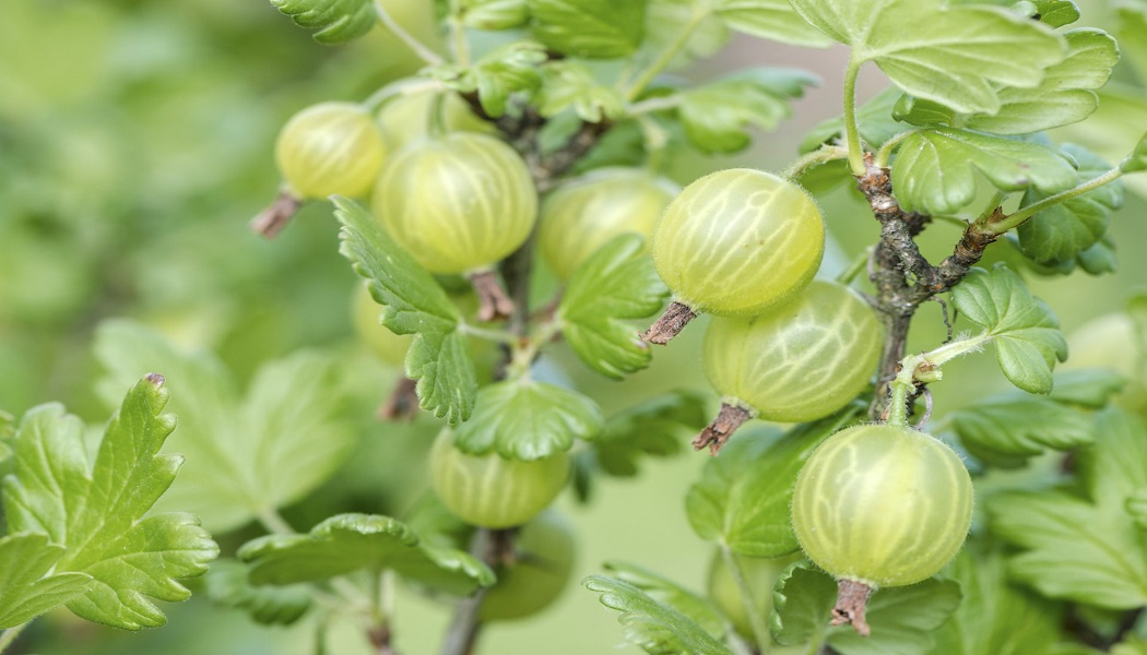 gooseberry to get rid of old scars