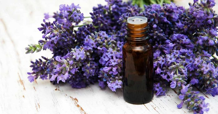 lavender essential oil for hair loss