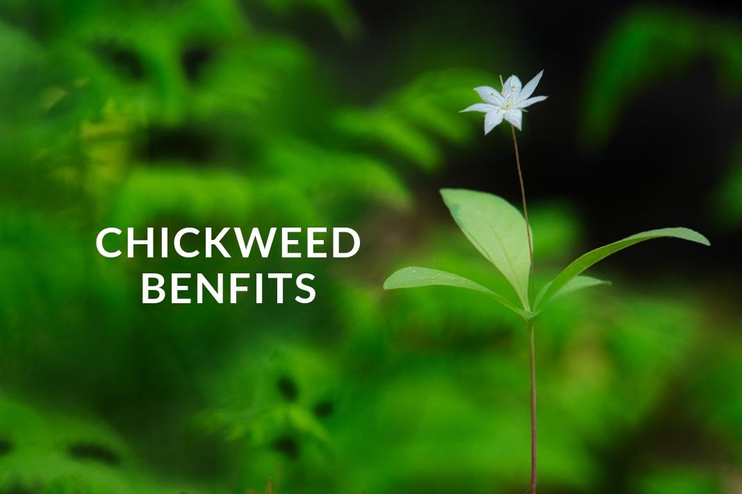 Chickweed benefits