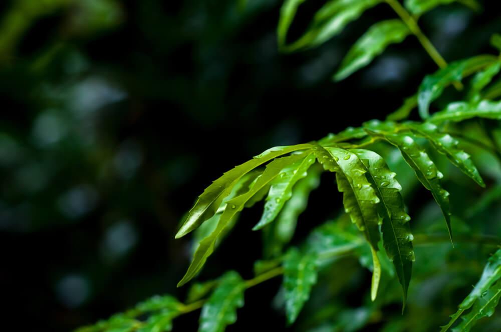 neem for ringworm