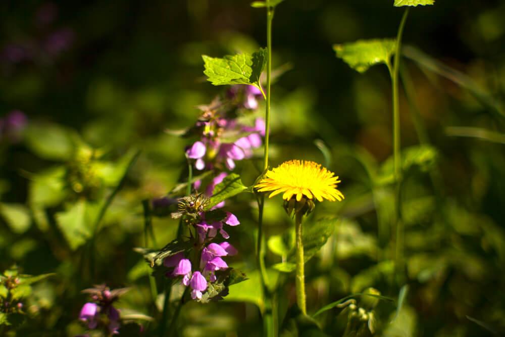 Nettle and Dandelion benefits