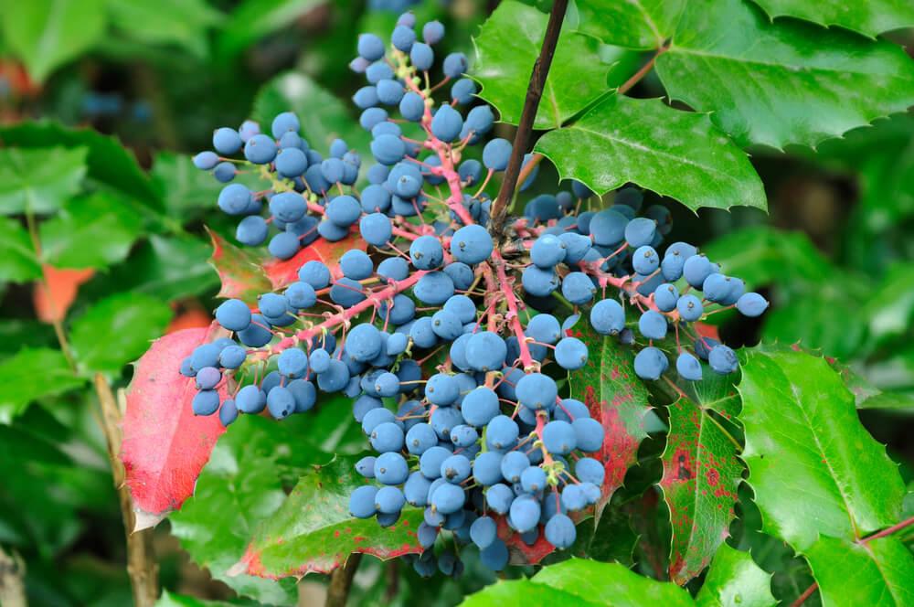 benefits of Oregon Grape